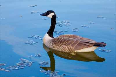 Canadian Goose, Whitnall Park, WI
