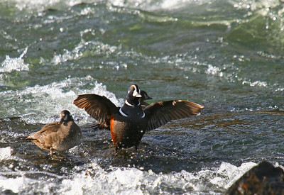A harlequin duck airs out the wings after a brief rainshower