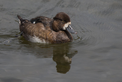 Lesser Scaup III