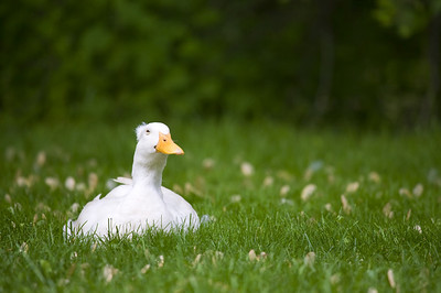 Domestic Chinese Crested Duck