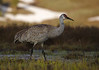 Sandhill Crane in Yellowstone National Park's Swan Lake Flat