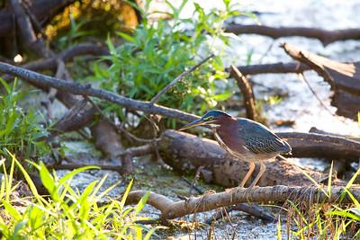 Green Heron, Sandy Ridge Reservation, N. Ridgeville, OH.