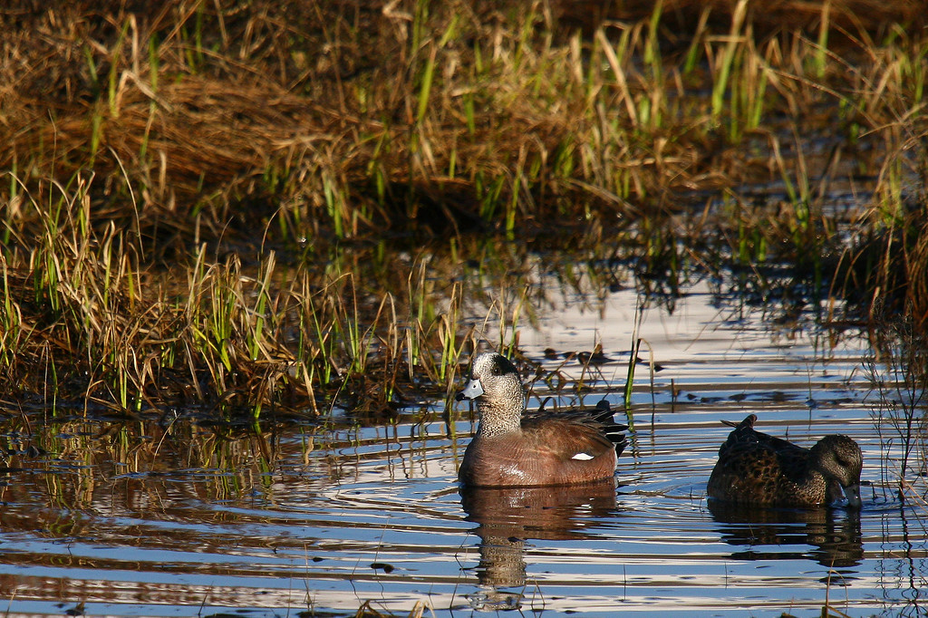 American widgeon ducks