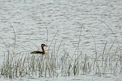 Not a great photo, but I was happy to add this guy to my list!  Red Neck Grebe, Crex Meadows, WI