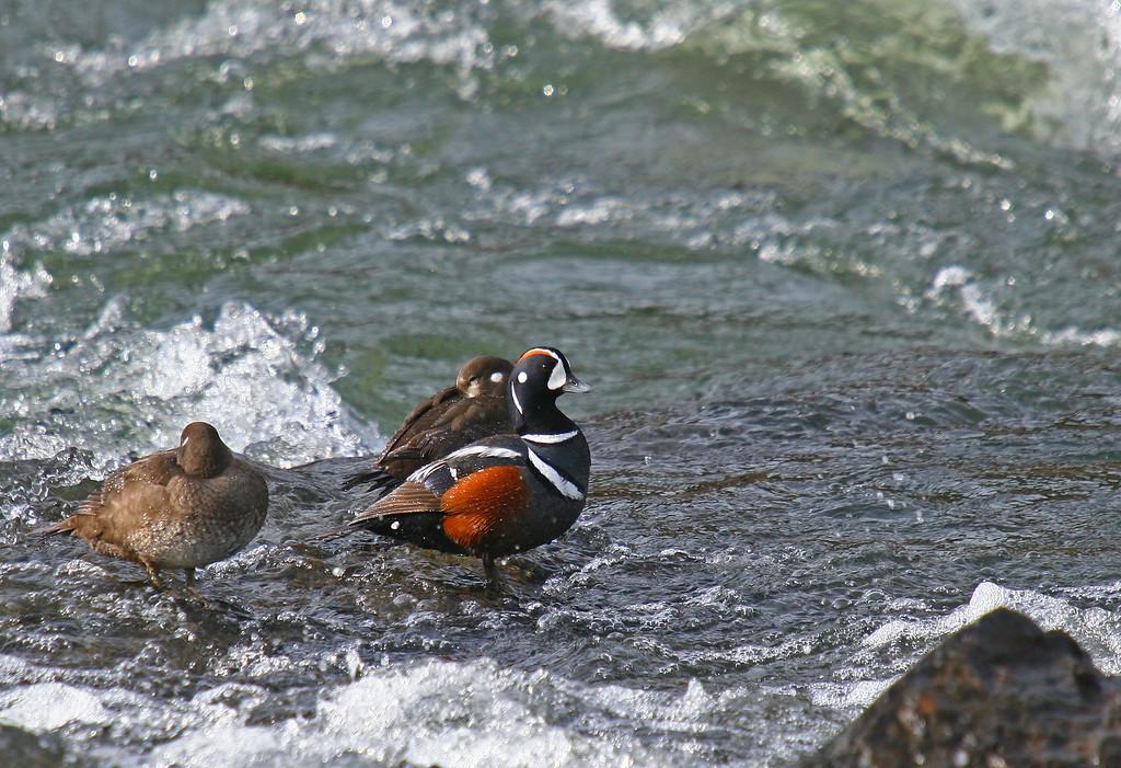 Harlequin ducks in LeHardy Rapids