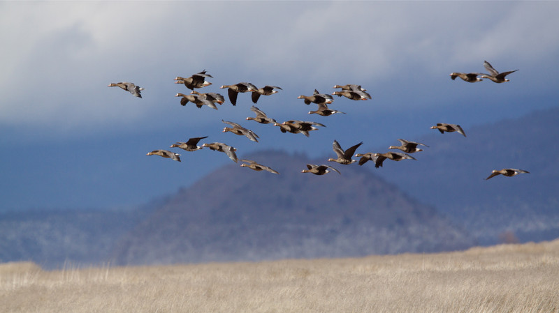 "White-fronted Geese, aka ""Specklebellies!"""