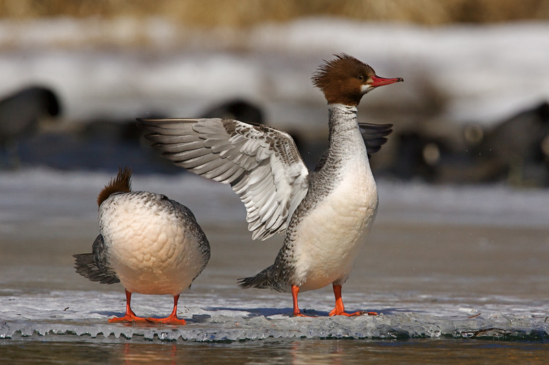 Common Merganser hens stretching and preening on the last of the ice