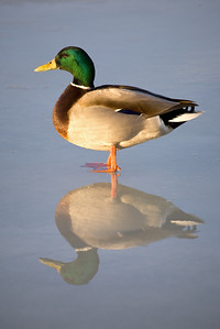 Mirrored Reflection-Recent photo of the day on the Ducks Unlimited site!