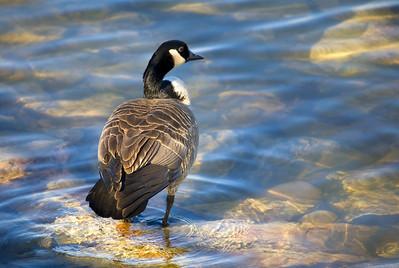 Canadian Goose, Lake Michigan, WI
