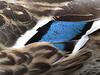 Mallard hen plumage detail; wing speculum