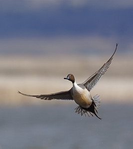 A Pintail drake at the Lower Klamath NWR in northern California