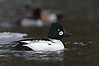 """I've never seen a Common Goldeneye quite like this one.    Notice the small dark spot inside the white cheek patch; quite a unique, """"one of a kind"""" bird!"""