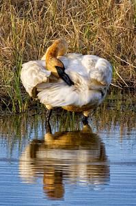 Trumpeter Swan-Crex Meadows, WI