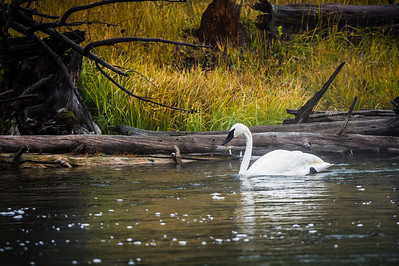 Trumpeter Swans in Yellowstone National Park
