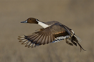 Pintail drake takes to the air