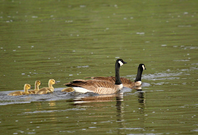 A canada goose pair leads their goslings across the Madison river