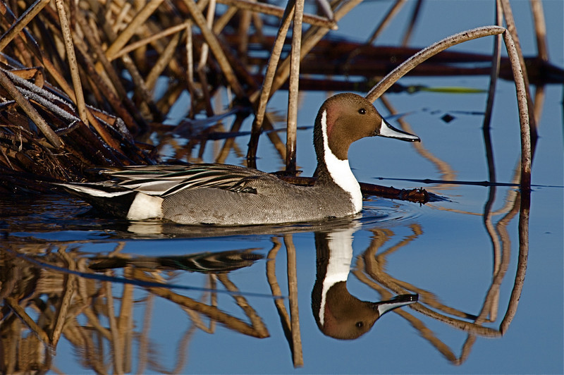 Pintail drake swims between the reeds at the Lower Klamath NWR