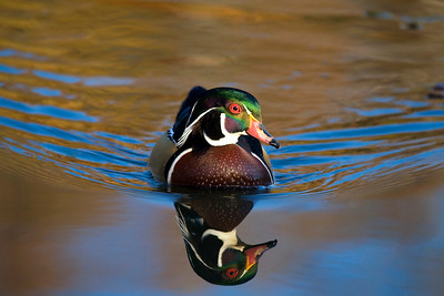 Male Wood Duck, N. Chagrin Reservation, OH.