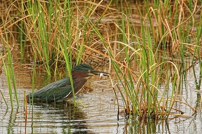 Love these guys, Green Heron, Crex Meadows, WI.