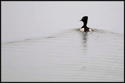 Ring Necked Duck, Crex Meadows, WI