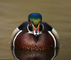 drake Wood Duck photographed in southwestern Oregon