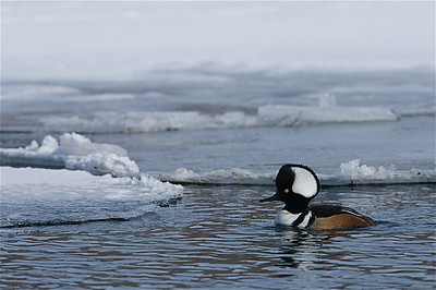 Hooded Merganser on the Methow River:  spring breakup