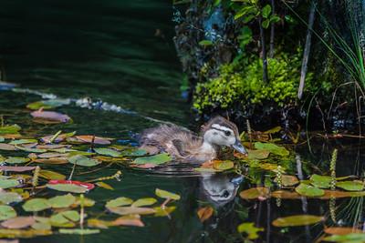 Baby Wood Duck