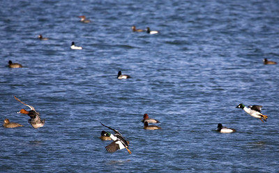 Incoming!  Common Goldeneyes, Redheaded Ducks, and Greater Scaups.  Coast Guard Base, Milwaukee, WI.