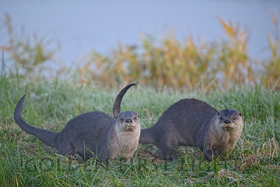 River Otters, Ridgefield National Wildlife Refuge