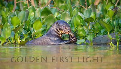 Giant River Otter, Brazil