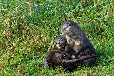 River Otter, Ridgefield National Wildlife Refuge