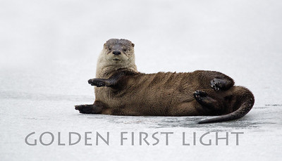River Otter, Ridgefield National Wildlife Refuge