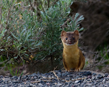 Long-tailed Weasel, Malheur National Wildlife Refuge