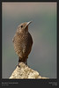 Blue Rock Thrush (f)