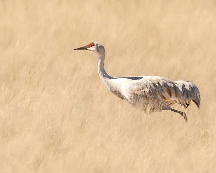 Sandhill Crane - New Mexico