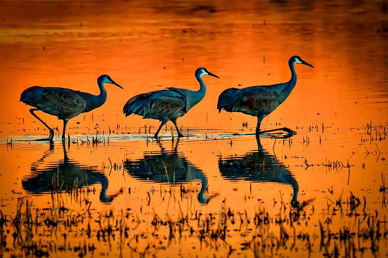 Sandhill Cranes on Golden Pond - Bosque Del Apache, New Mexico