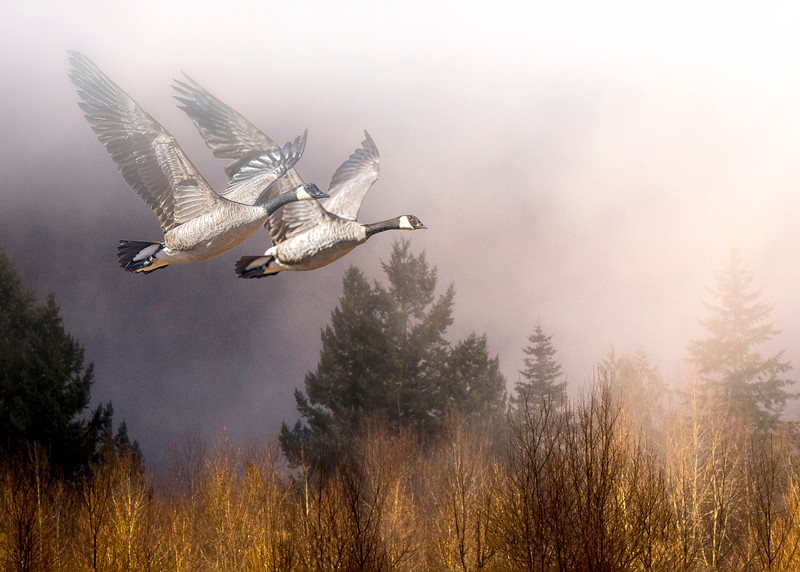 Canadian Geese Out of the fog - Montana