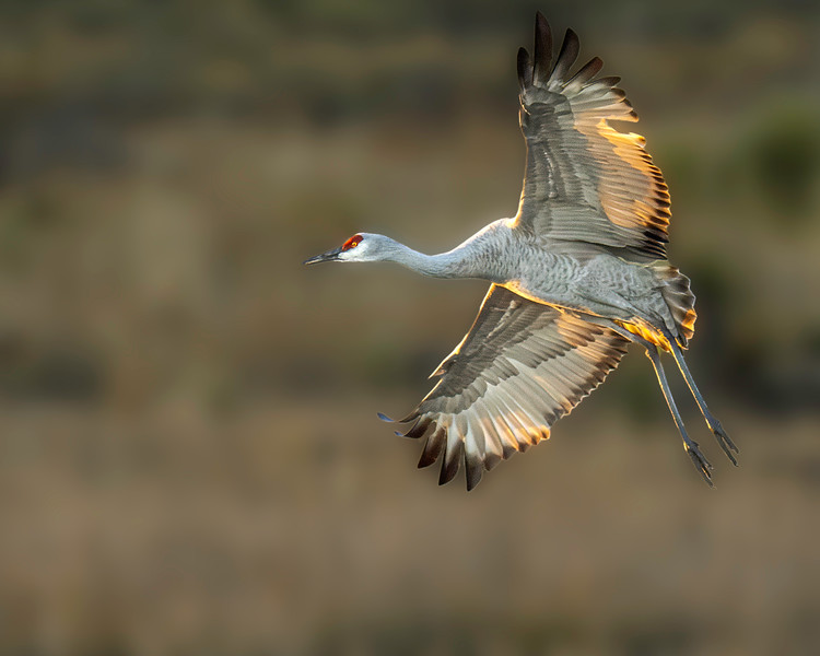 Sandhill Crane - New Mexico