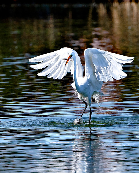 Great White Egret Fishing - Arizona