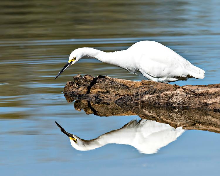Snowy Egret - Arizona