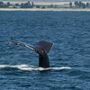 Humpbacks can be identified by the markings on their tails