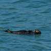 Otter in Elkhorn Slough