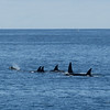 There were six Orcas in the pod that were watching