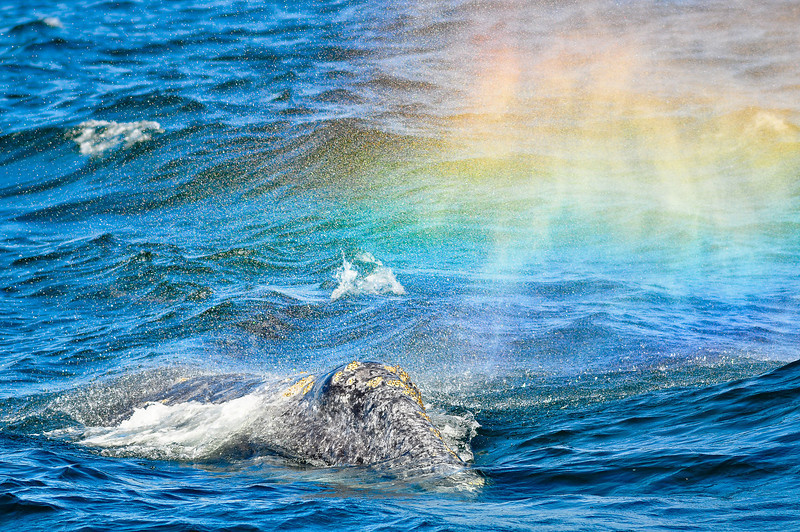 A rainbow appears in the exhaled breath of a gray whale.