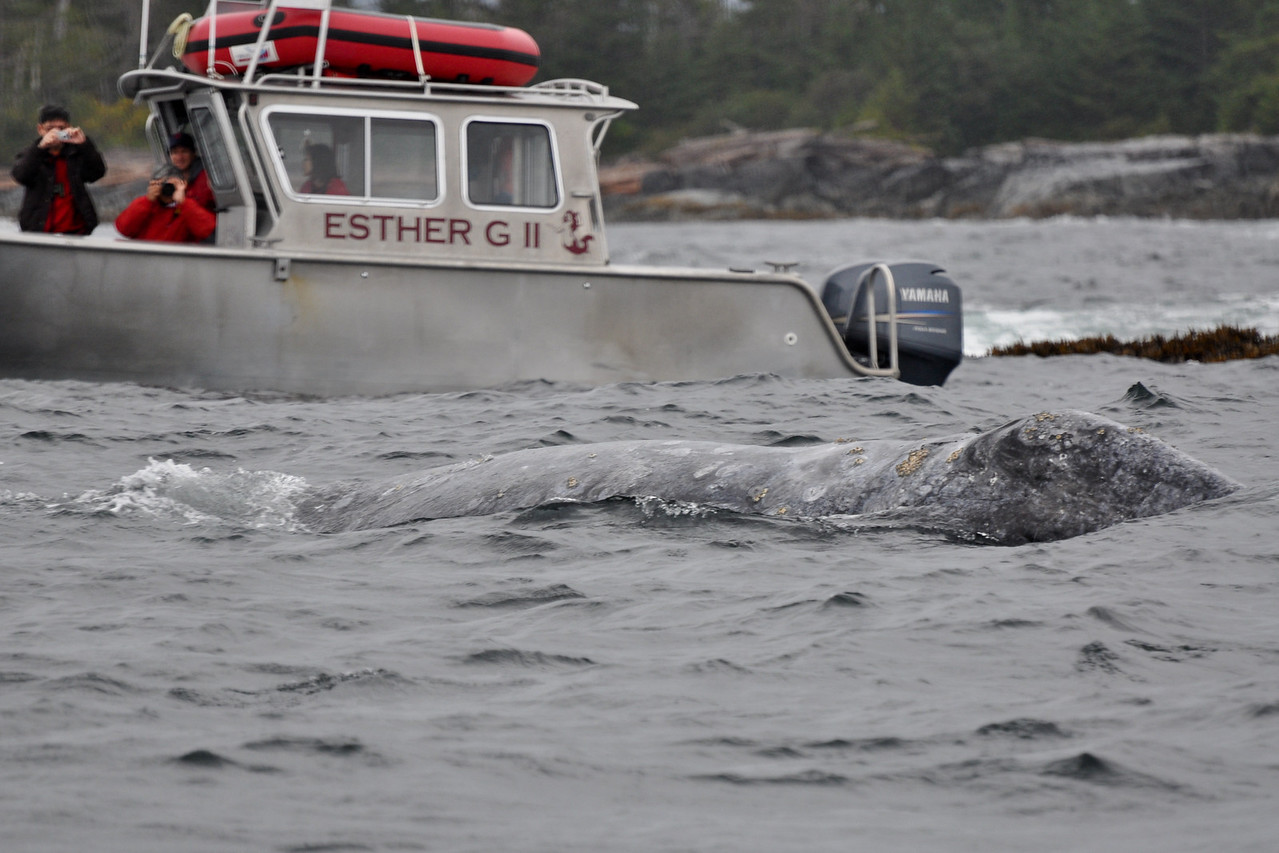 Gray whale in front of the Esther G II.