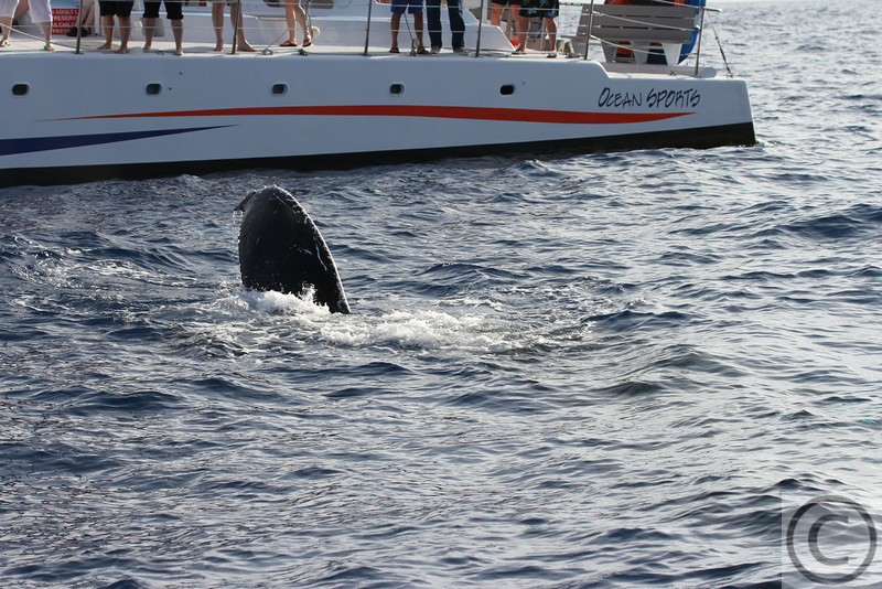 Humpback Whale - Big Island Hawaii