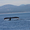 Humpback Whale - Vancouver Island
