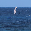 Humpback Whale - Big Island Hawaii - Shot from shore, zoomed in and cropped results in grainy photo - pectoral fin