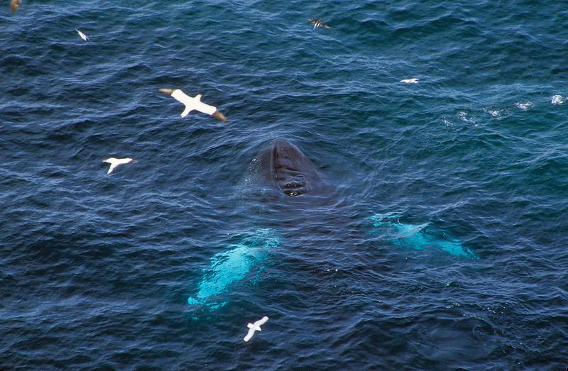 One whale feeding.