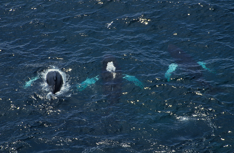 Three whales cooperative feeding.